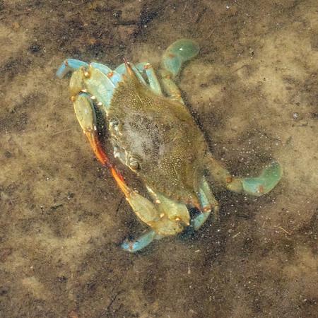 2019-04-16  Blue Crab