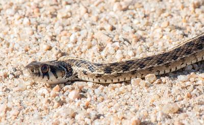 2016-11-06  Black-necked Garter Snake
