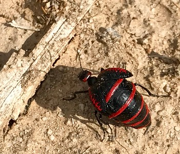 2017-09-17  Red and Black Blister Beetle, Aztec Ruins National Monument