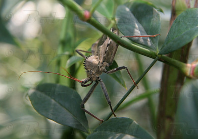 The Wheel Bug delivers the most painful bite in the insect kingdom!