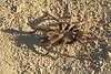 A tarantula we encountered in Grant Park.
