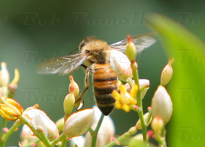 Bees_0251