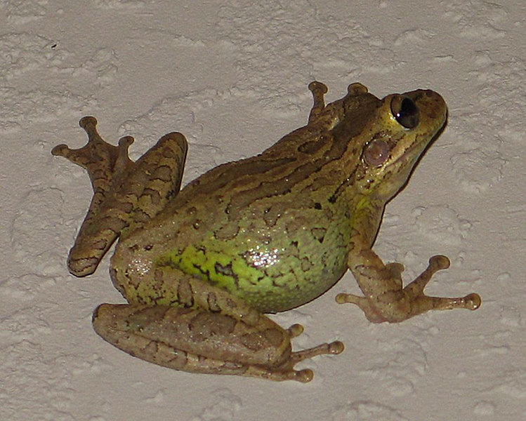 Treefrog  @ Rich's House  2006