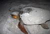 loggerhead turtles layin eggs
