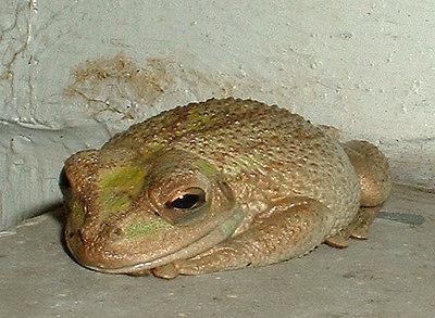 Sleeping Treefrog on porch  (2004)