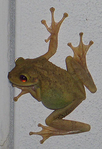 Another Treefrog @ Rich's House