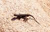 Chuckwallas Lizard, Wall Street Mill Trail, Joshua Tree National Park