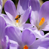 Small bee on Crocus. 2014-17246