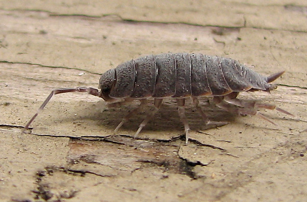 A woodlouse (Porcellionides pruinosus) running across my patio fence (20080913_11934)