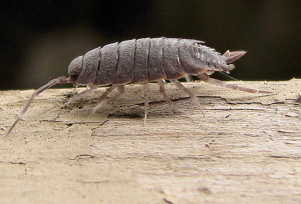 A woodlouse (Porcellionides pruinosus) running across my patio fence (20080913_11936)