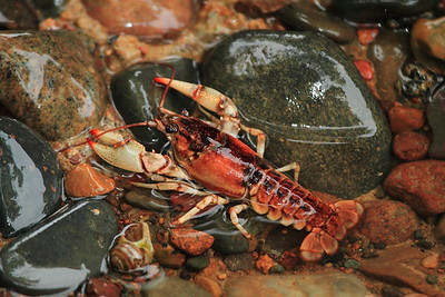 Crayfish- Father Hennepin S.P.