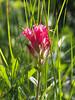 Magenta paintbrush (Castilleja parviflora).