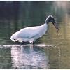 Wood Stork (25525277)
