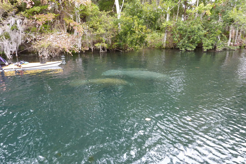 Manatees swim freely after rescue operation.