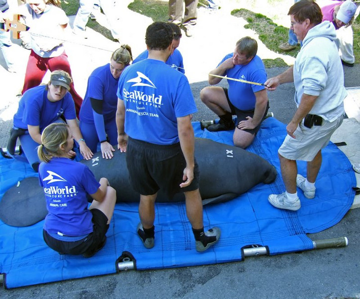 Measuring manatee before release (109844590)