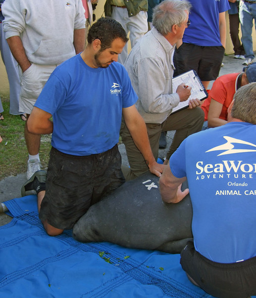 Docile manatee awaits return to the water (109844591)