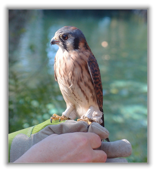 Kestrel rescued by Hope Wildlife Rescue