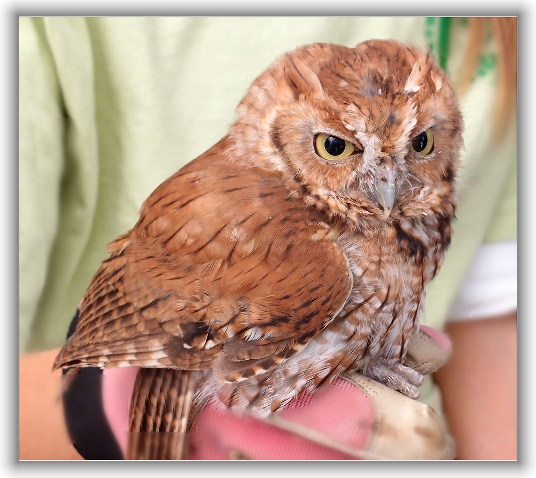 Screech owl rescued by Hope Wildlife Rescue