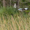 Great Blue Heron over the wetland