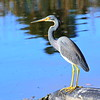 Tri color heron. Photo by Barbara Kramer