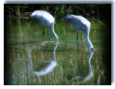 Sand Hill Cranes in Three Sisters Wetland