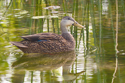 Mottled Duck. Three Sisters Springs