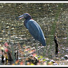 Possible a Tri-color or little blue heron (?)