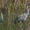 Sandhill Cranes in the bull rushes