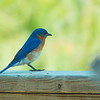 blue bird on the boardwalk
