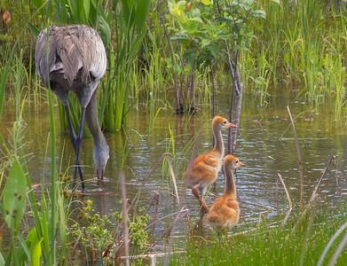 Sandhill Crane Chicks in the Wetland. May, 2017