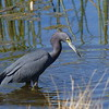 Little blue heron in the wetland