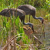 Sandhill Crane Chicks in the Wetland. May, 2017