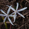 Spider Lily in the wetland