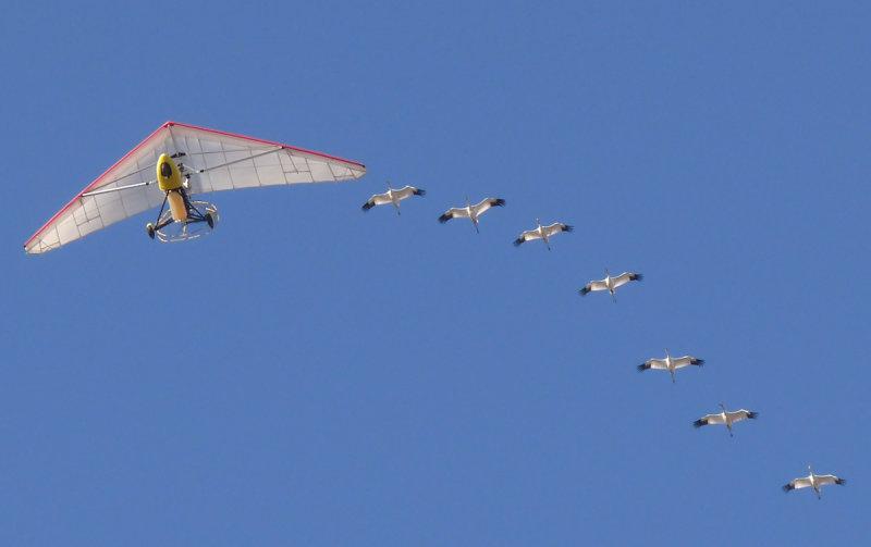 Seven birds following the ultralight (108421752)