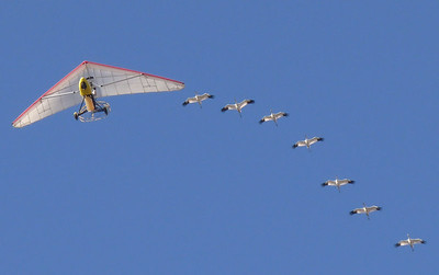 Whooping Crane Flyover - 2009