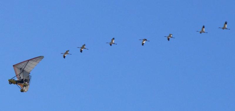 Seven birds following the ultralight (108421756)