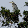 Great blue heron in the treetops