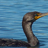 Cormorant on King's Bay. Crystal River, Florida