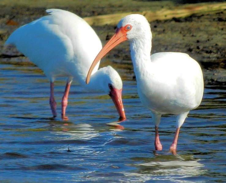 White ibis foraging near Parker island