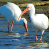 White ibis foraging near Parker island