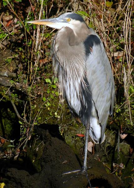 Great Blue Heron. Kings Bay.