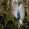 Great Blue Heron. Kings Bay.