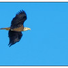 Eagle in flight over Kings Bay