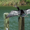 Anhinga drying out on the dock (83465252)