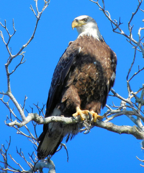 Bald Eagle on Parker Island. Crystal River National Wildlife Refuge