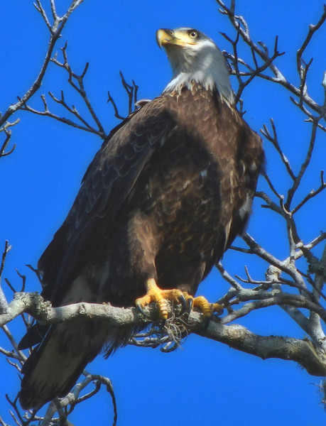 Eagle at Rest. Parker Island. Kings Bay, Florida.