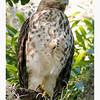 Cooper's Hawk or possibly a Red Tailed Hawk (immature)