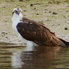 Osprey Wading on the Shoreline. Crystal River National Wildlife Refuge.