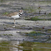 Killdeer on the mud flats