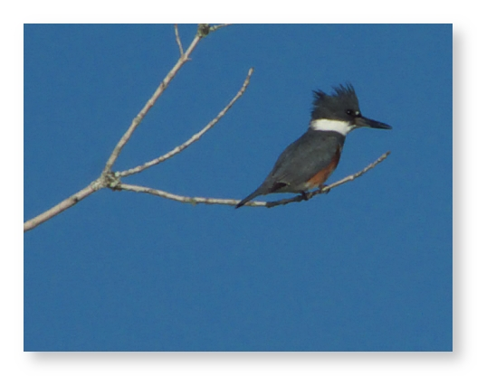 Belted Kingfisher - Buzzard Island (99318994)